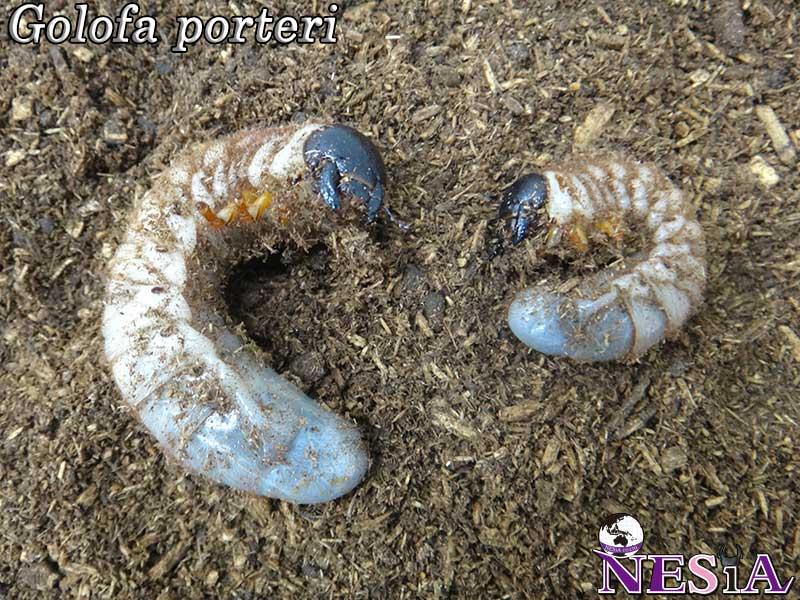 【3令幼虫ペア】ゴロファ・ポルテリ(ノコギリタテヅノカブト)【ベネズエラ:アラグア産】