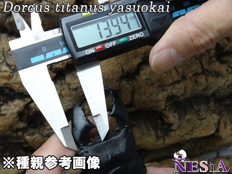 【幼虫ペア】大型極太血統『TIGER ZETTA』(スマトラオオヒラタ)【菌糸カップ入り】