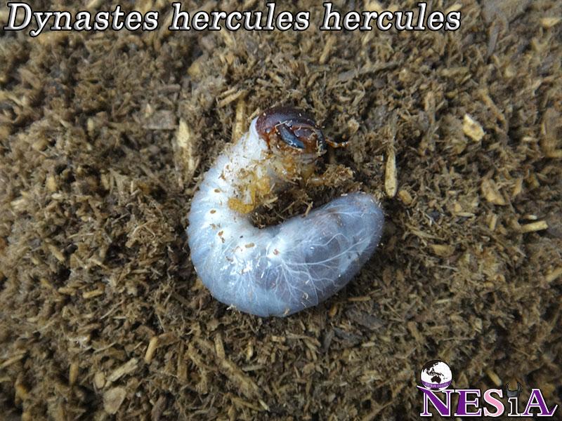 【極太血統】ヘラクレスヘラクレスオオカブト【幼虫単品】
