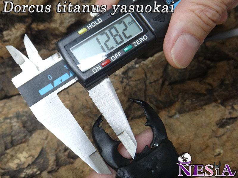 【1♂2♀】大型極太血統『TIGER ZETTA』(スマトラオオヒラタ)【♂104.5mm♀55mm♀50mm】