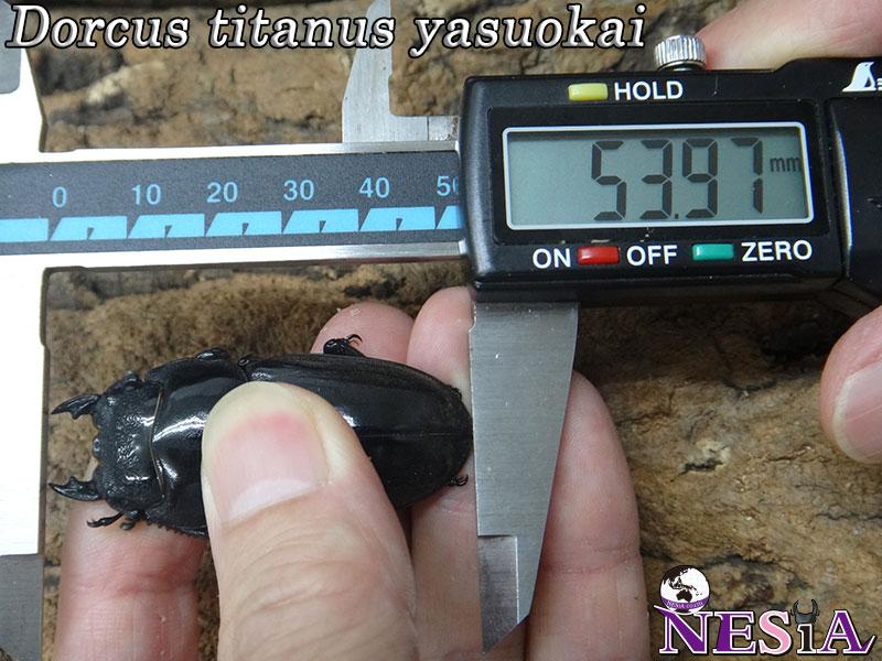【1♂2♀】大型極太血統『TIGER ZETTA』(スマトラオオヒラタ)【♂97.5mm♀53.5mm♀51.5mm】