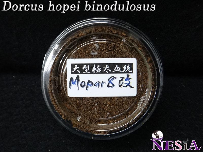 【幼虫】大型極太血統『Mopar8改』国産オオクワガタ【菌糸カップ付き】