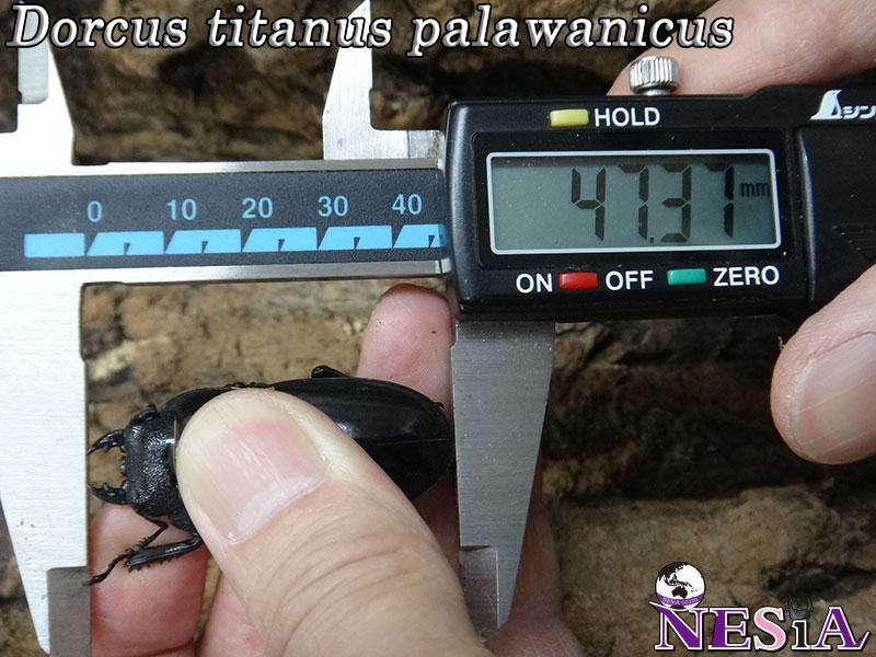 【大型血統】パラワンオオヒラタクワガタ【♂101mm♀47mm】