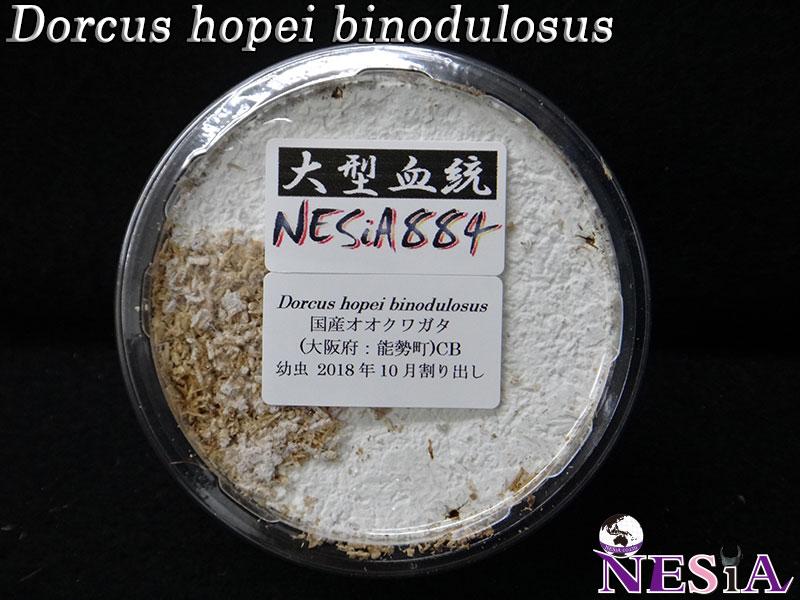 【幼虫】大型血統『NESiA884』国産オオクワガタ【菌糸カップ入り】