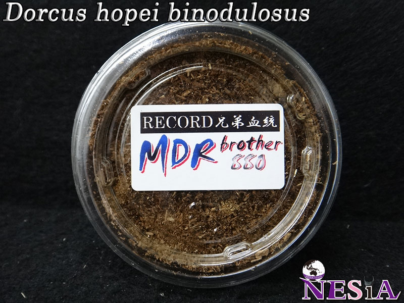 【幼虫】RECORD兄弟血統『MDR brother880』国産オオクワガタ【飼育ライン13番NS20C13】