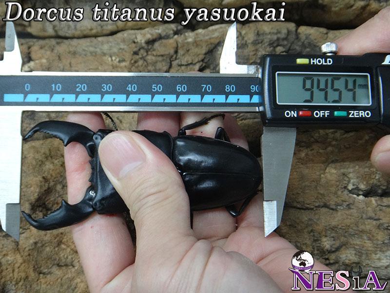 【大型血統】スマトラオオヒラタクワガタ【♂94mm♀52mm】
