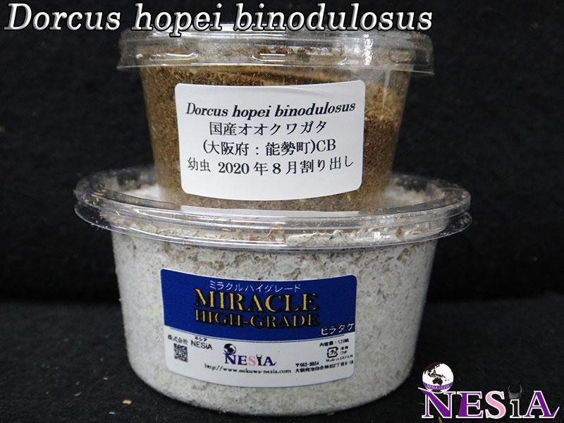 【幼虫】大型血統『NESiA890』国産オオクワガタ【菌糸カップ付き】