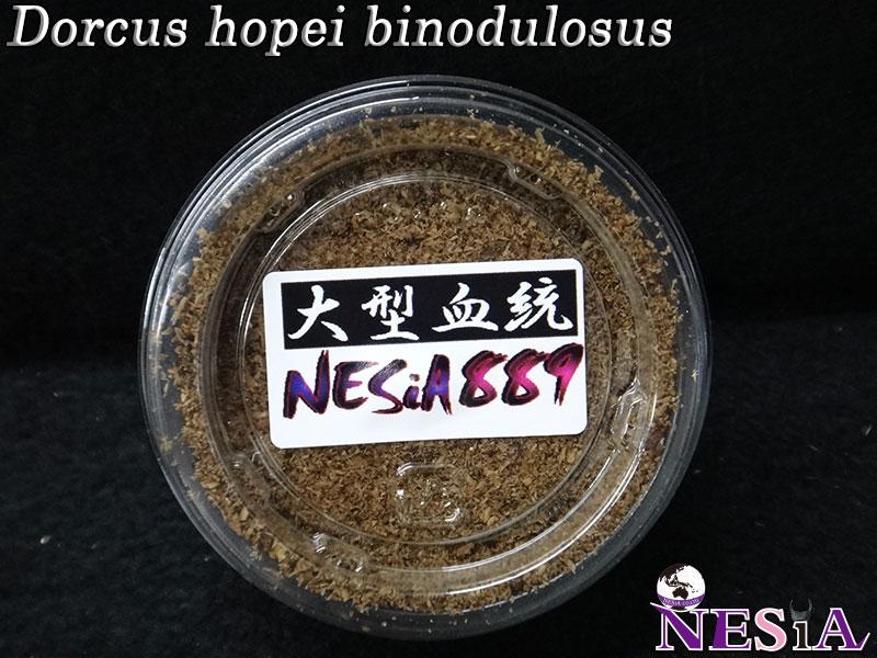 【幼虫】大型血統『NESiA889』国産オオクワガタ【菌糸カップ付き】