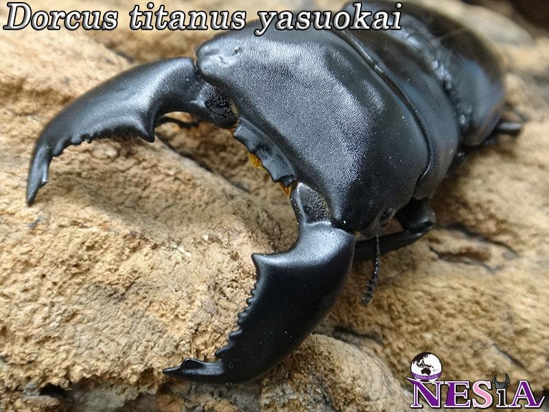 【成虫ペア】大型極太血統『SUMATERA TIGER EXA』(スマトラオオヒラタ)【♂86mm♀47mm】