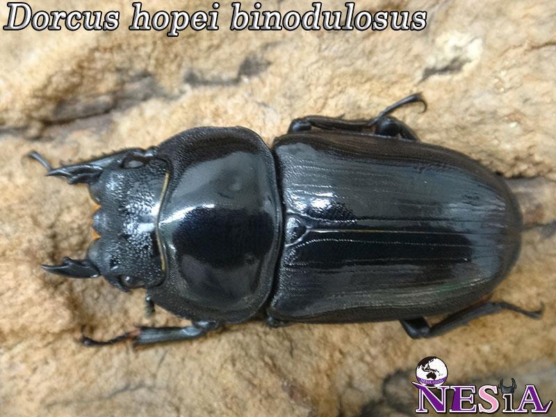 【♀単品】大型血統『NESiA889』国産オオクワガタ【♀51mm】