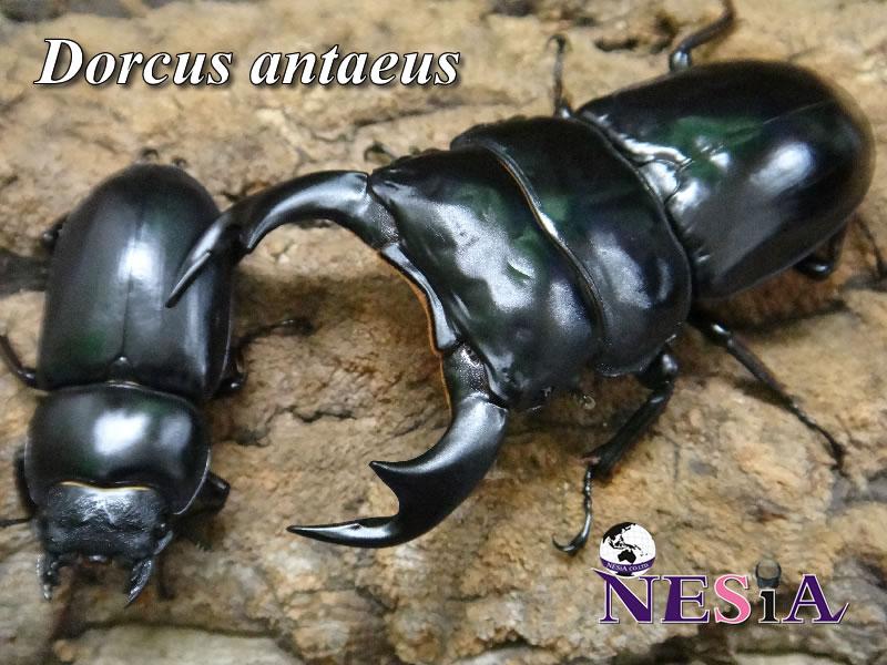 【大型極太血統『Antaeus India SIVA シヴァ 90』】♂81mm♀47mmm