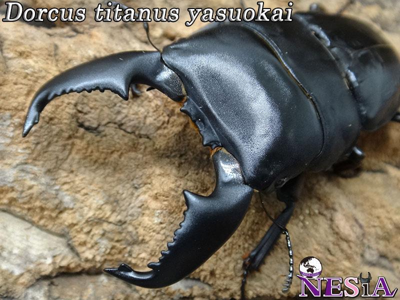 【大型血統】スマトラオオヒラタクワガタ【♂93mm♀47mm】