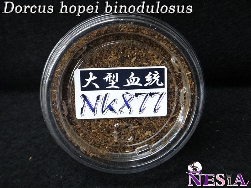 【幼虫】大型血統『NK877』国産オオクワガタ【菌糸カップ付き】