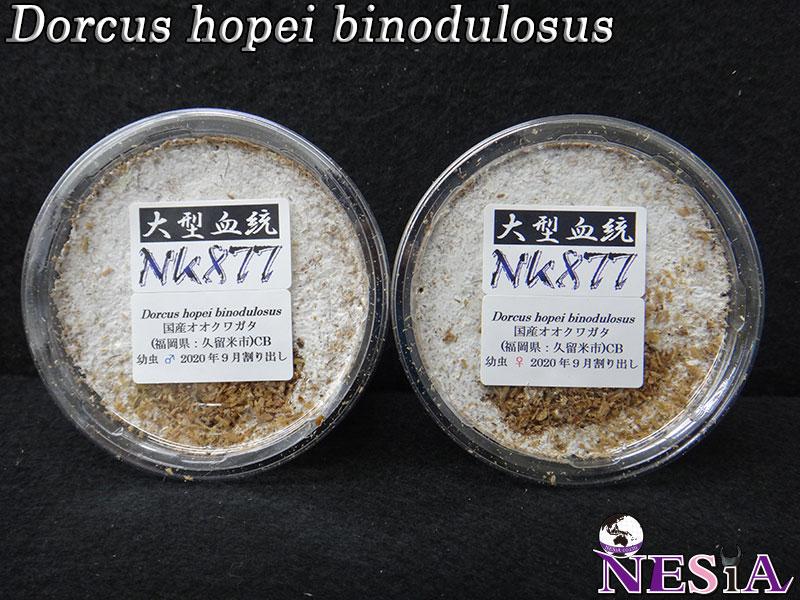 【幼虫ペア】大型血統『NK877』国産オオクワガタ【菌糸カップ入り】