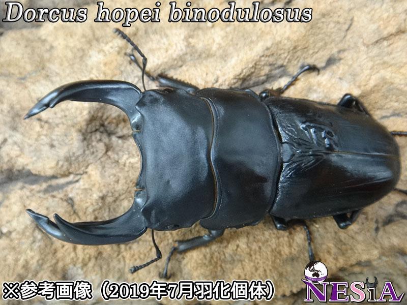 【幼虫】大型血統『N891MD』国産オオクワガタ【プレミアムライン】