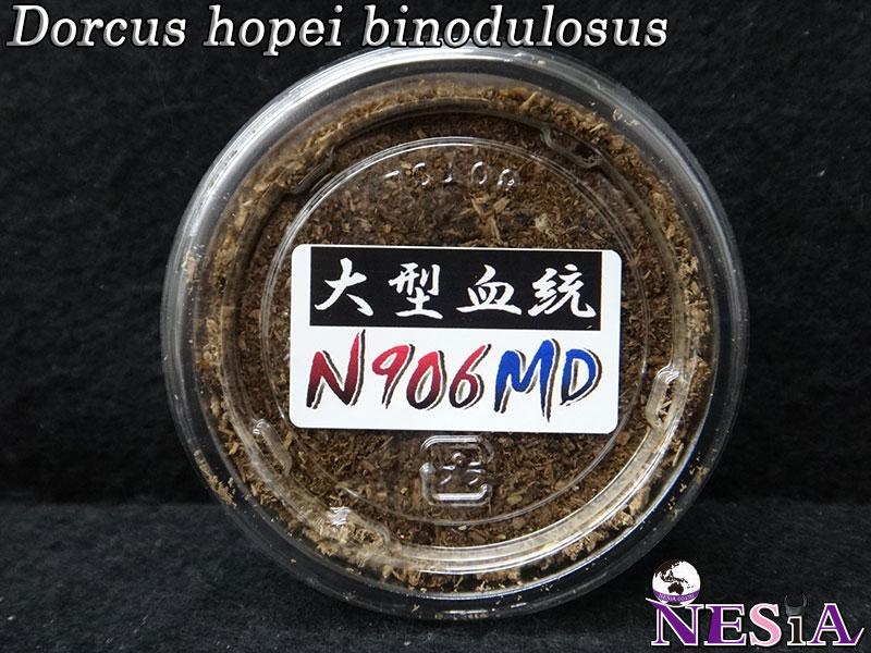 【幼虫】大型血統『N906MD』国産オオクワガタ【菌糸カップ付き】