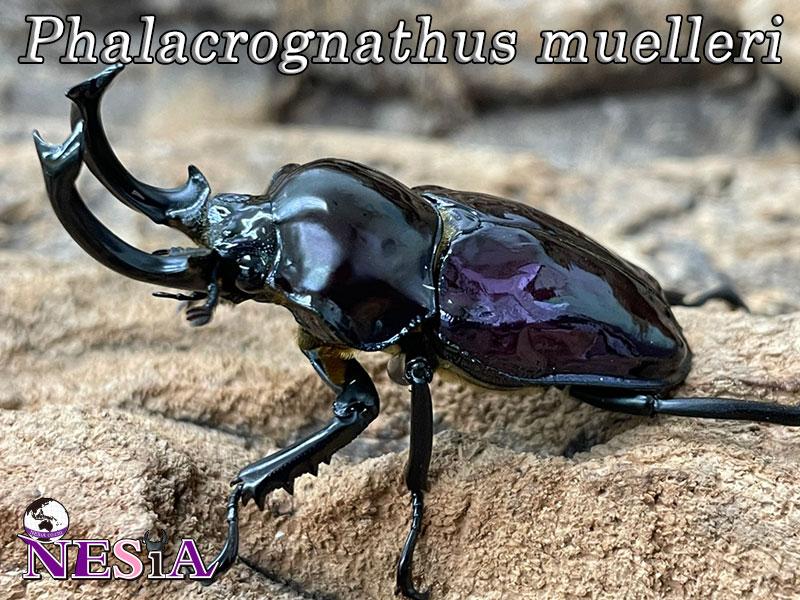 【紫紺血統】ニジイロクワガタ【オーストラリア:クイーンズランド州】♂52mm♀37mm