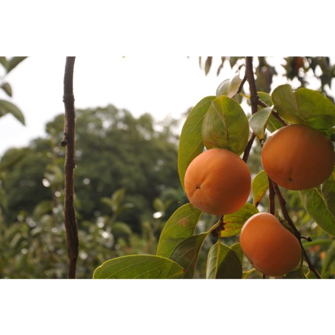 【堀うち農園】柿ちっぷ