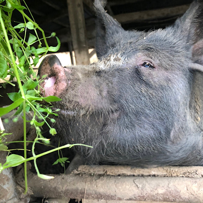 [自然農園ウレシパモシリ]豚肉ロースブロック 約500g【冷凍】