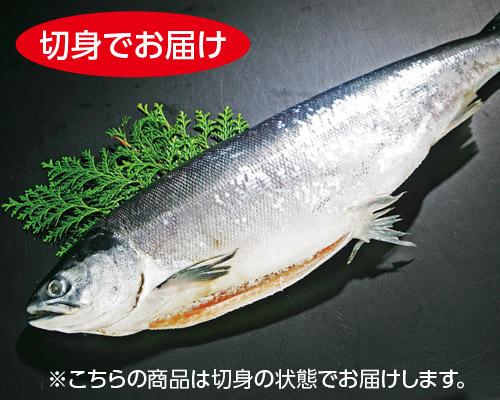 甘塩新巻鮭3kg【切身・トレー】