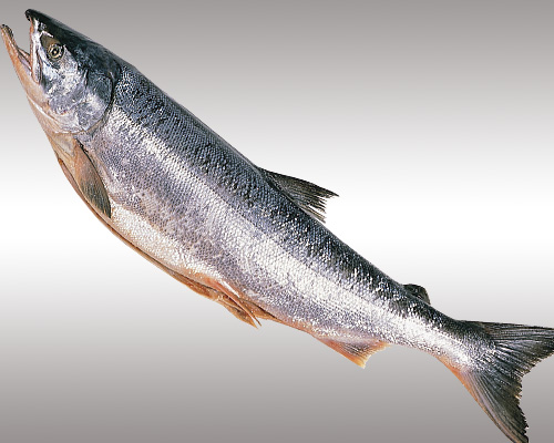 甘塩新巻鮭2.6kg【切身・トレー】