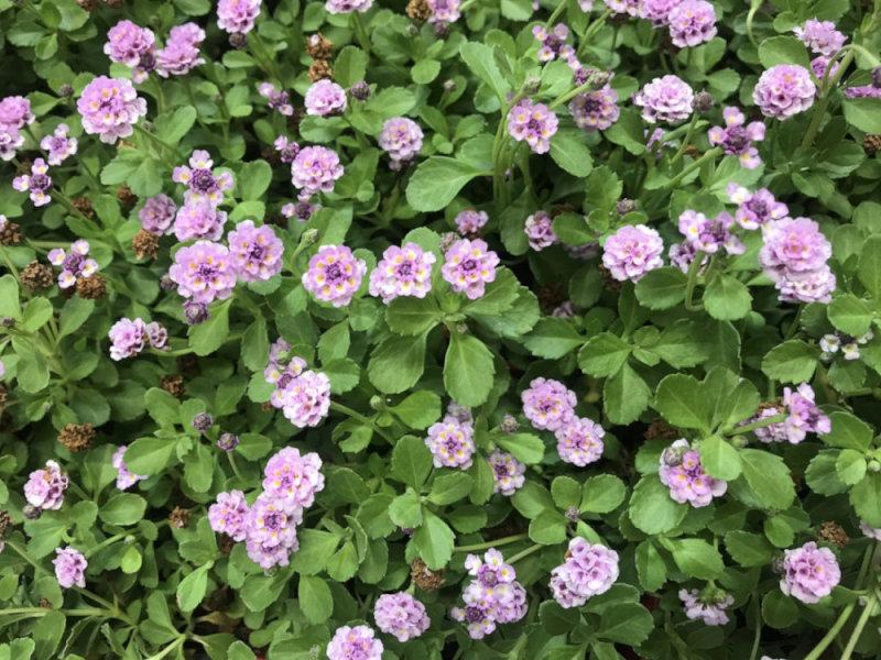 【4月から発送開始】スーパーイワダレソウ「クラピア K3」(花色:ピンク) 9cmポット苗