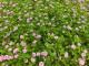 【4月から発送開始】スーパーイワダレソウ「クラピア K3 (24本セット)」(花色:ピンク) 9cmポット苗【送料込】