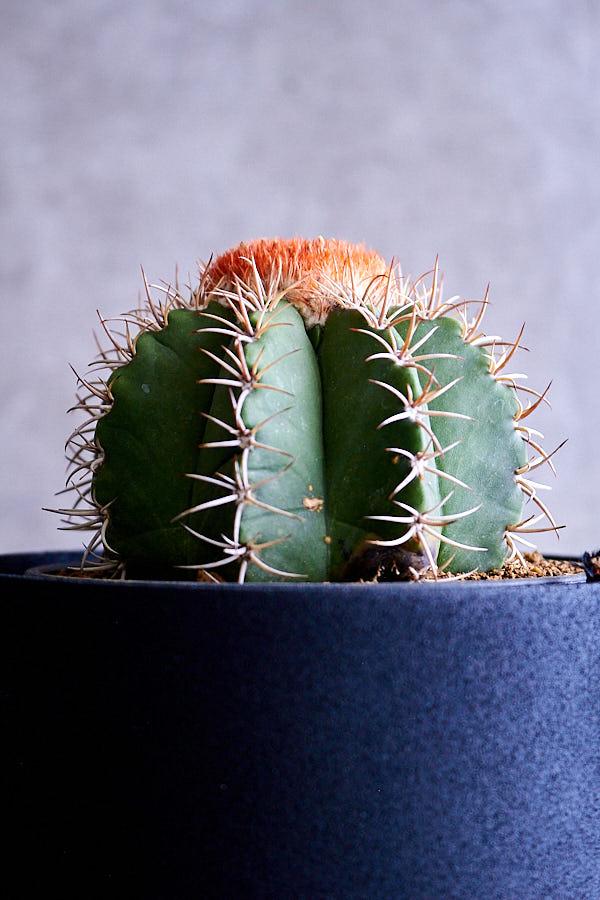 メロカクタス マタンザヌス