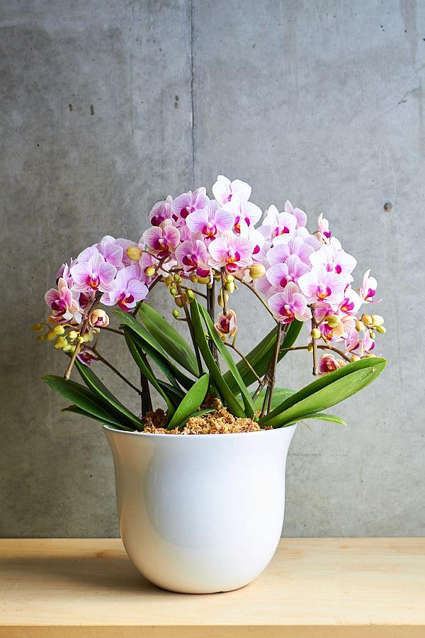 ミディ胡蝶蘭 3F キャンディピアス