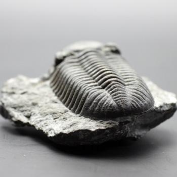 三葉虫(化石) 〔2392〕