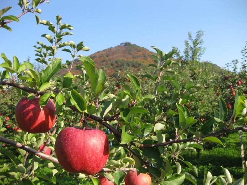 【2021年収穫分 予約受付中】リンゴ ふじ5kgセット(16-18個セット)