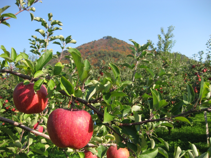 【2021年収穫分 予約受付中】リンゴ ふじ10kgセット(36-40個セット)