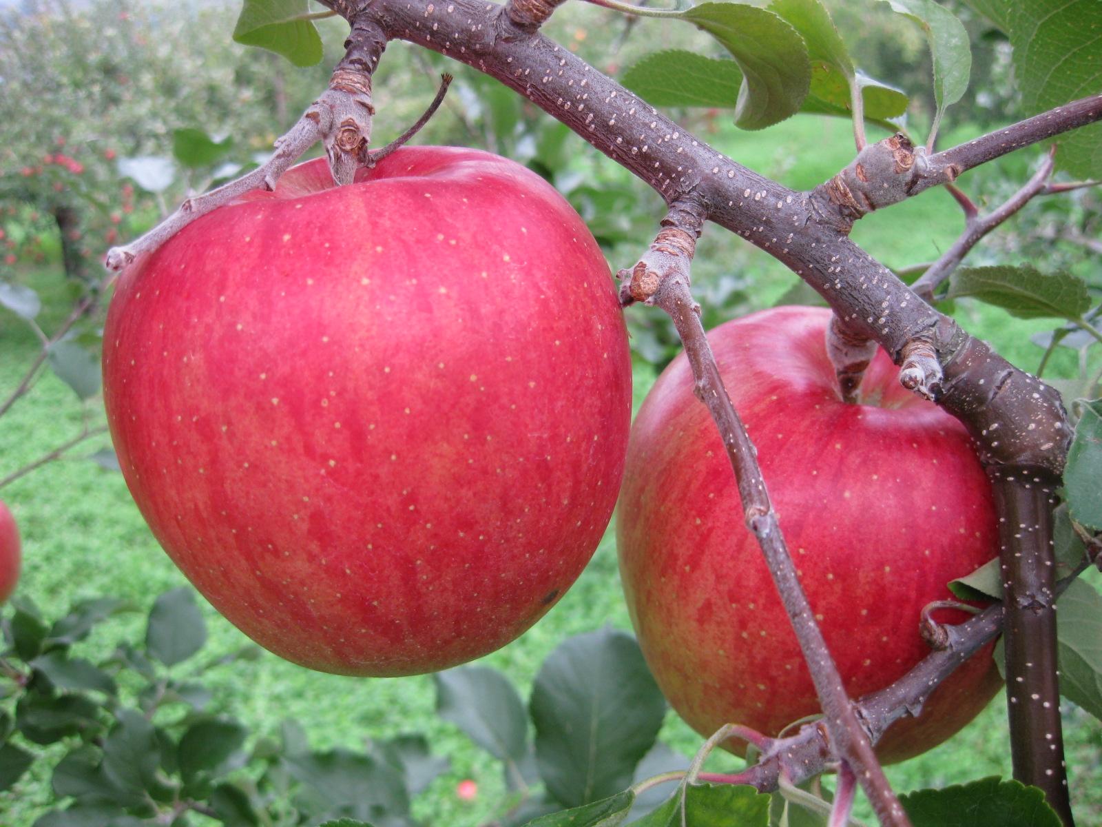 【2021年収穫分 予約受付中】ラフランス(西洋ナシ)/シナノスイート(りんご)詰合せ 5kgセット