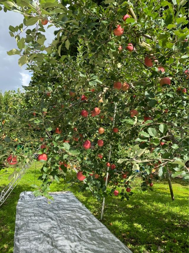【三種町産品】安藤農園 りんご ふじ10kg