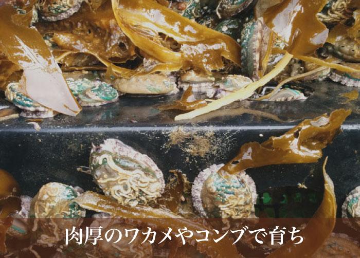 三陸産生アワビ(7cm)南三陸町漁師で似顔絵阿部さん(送料込み)