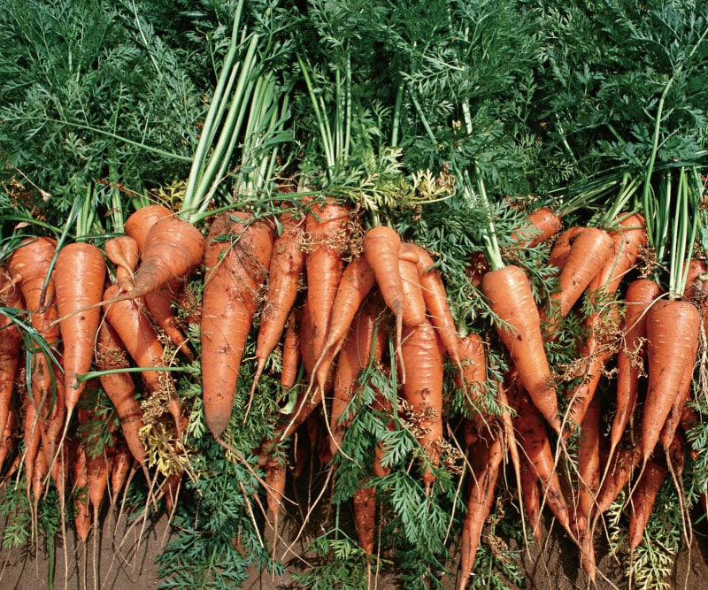 ニンジン10kg(特別栽培:無農薬・無化学肥料)※泥付き