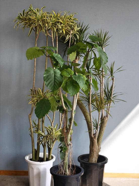 おまかせ観葉植物3L(10号鉢)