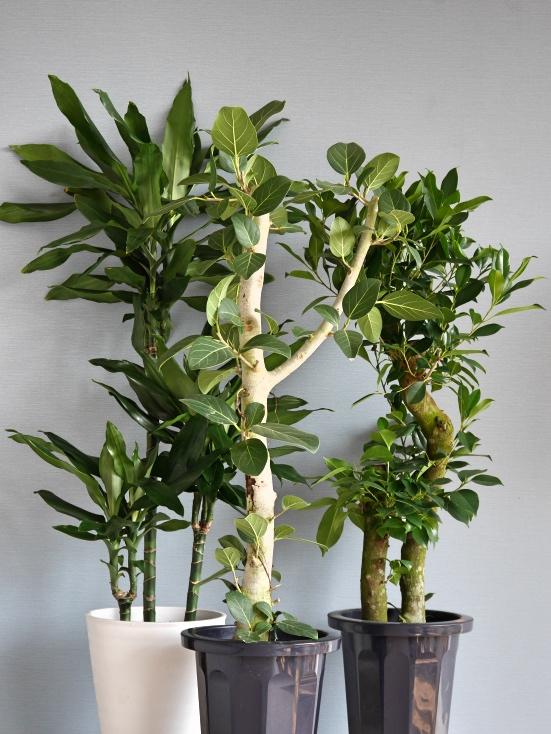 おまかせ観葉植物M(8号鉢)