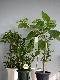 おまかせ観葉植物S(6〜7号鉢)