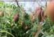 <夏季限定>鹿児島県産 指宿育ちの完熟マンゴー 2玉(900g〜1000g) ※送料無料