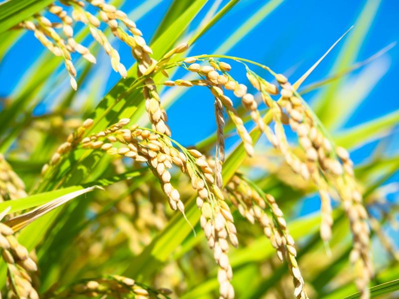 おいしさは米の糠からわいて出る こめ油(白絞油) 8kg缶【業務用】