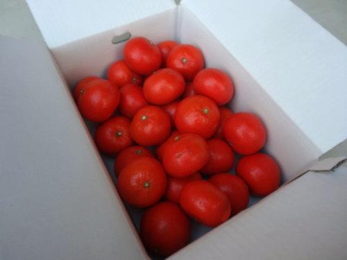 【商品番号257】紅ダイヤ レギュラー箱 大玉サイズ 秀品 約5kg入