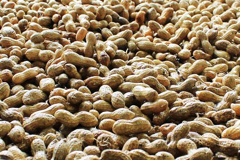 塩ゆでピーナツ・袋詰め (500g)