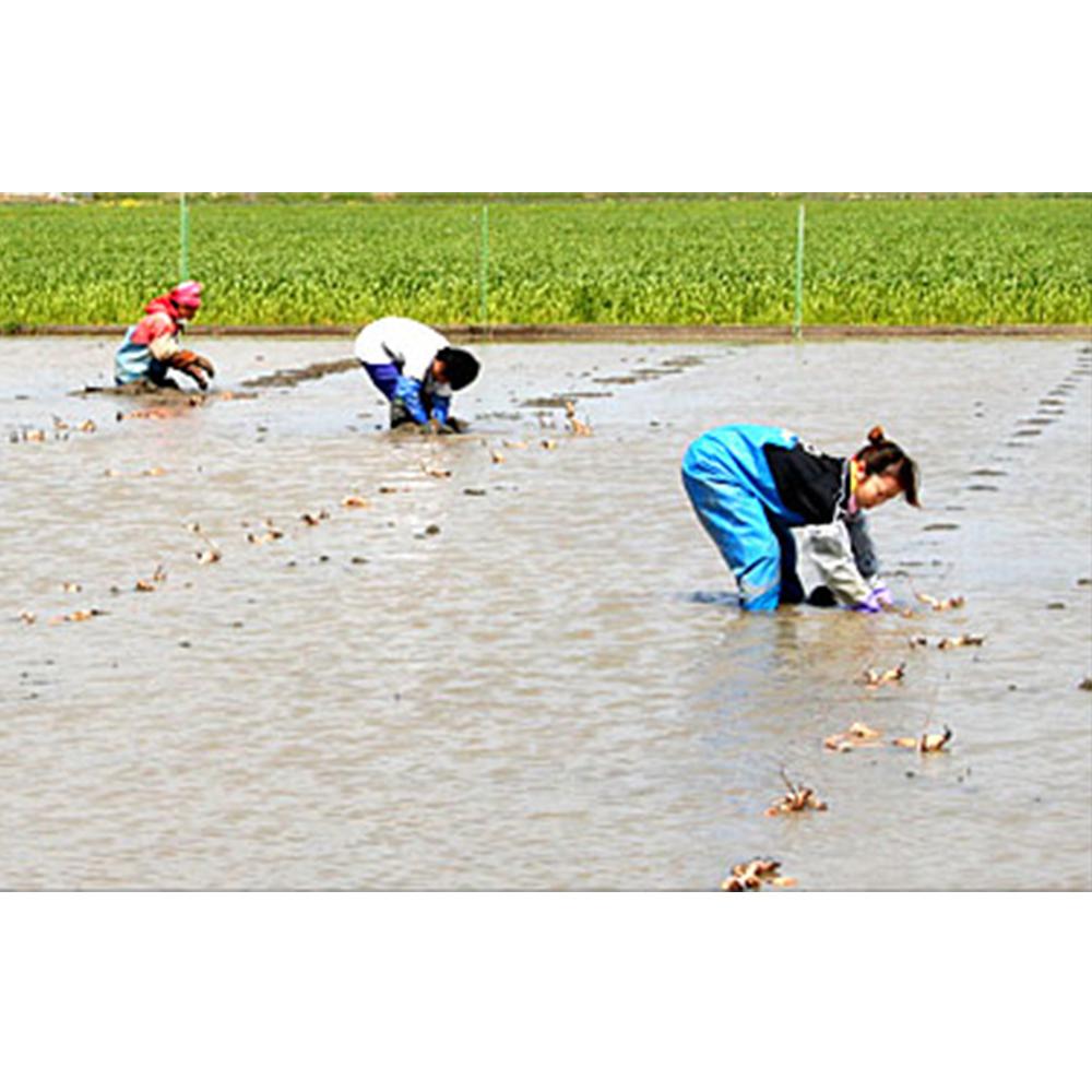 れんこんパウダー 国産 70g 無農薬 無添加 化学肥料未使用 熊本県産 送料無料 皮ごと レンコンパウダー 蓮根粉 れんこん粉末