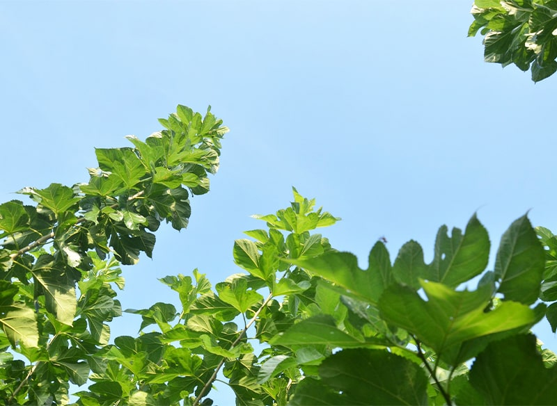 ワイピーファーム 桑の葉粉茶 30包 常温便
