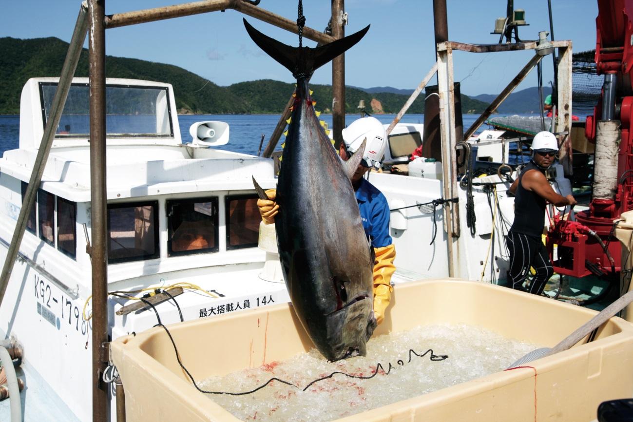 鹿児島県 奄美大島 本まぐろ養殖生産者 奄美養魚さんの完全養殖本まぐろ3柵セット(冷凍)