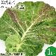 新鮮な無農薬ケール1kg【国産】【生葉】【青汁】
