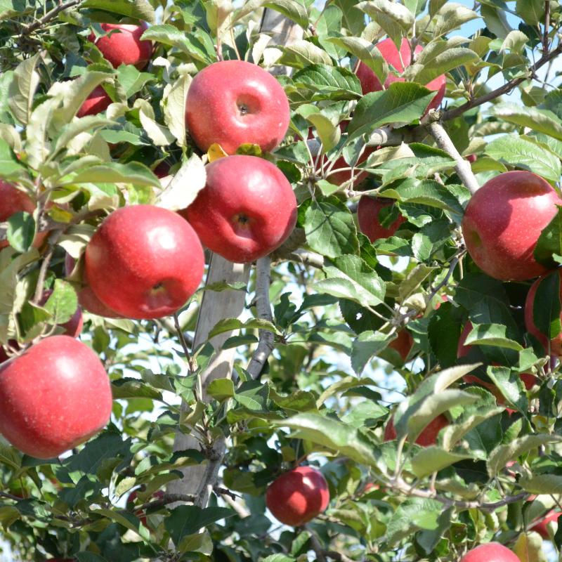 次回は、2021年11月中旬より予約開始!【地域限定送料込み】亘理 高野りんご園 ナノふじ 5kg×2 [常温発送]【同梱不可】