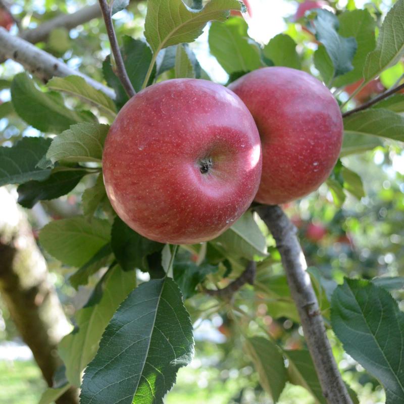 次回は、2021年11月中旬より予約開始!【地域限定送料込み】亘理 高野りんご園 りんご ナノふじ 5kg [常温発送] 同梱不可