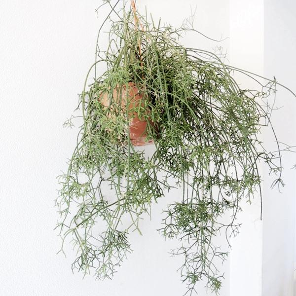 """【唯一無二】GREENで壁を彩る存在感抜群の""""リプサリス"""""""